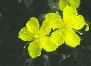 hudsonia_montana_closeup_lg